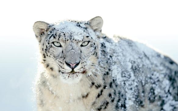 snow-leopard 1